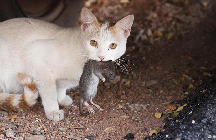 Естественные враги крыс