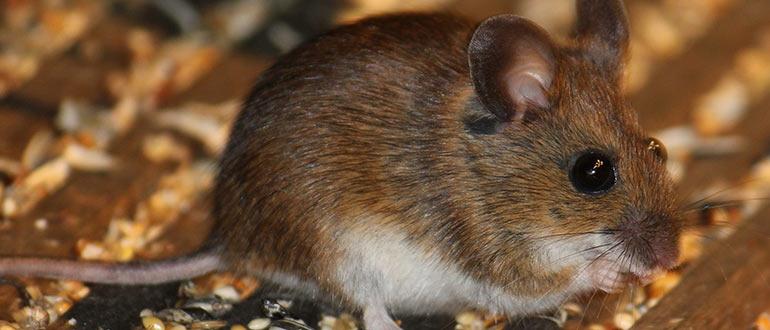 Что пугает мышей и крыс