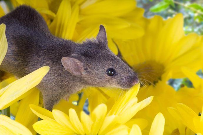Каких растений боятся мыши