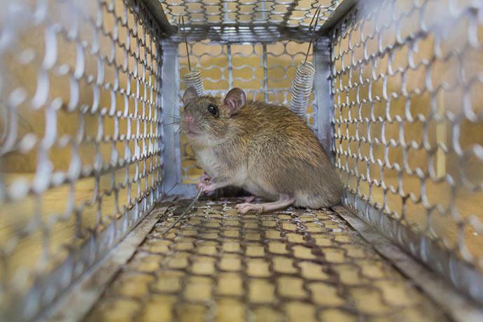 Каких звуков боятся мыши