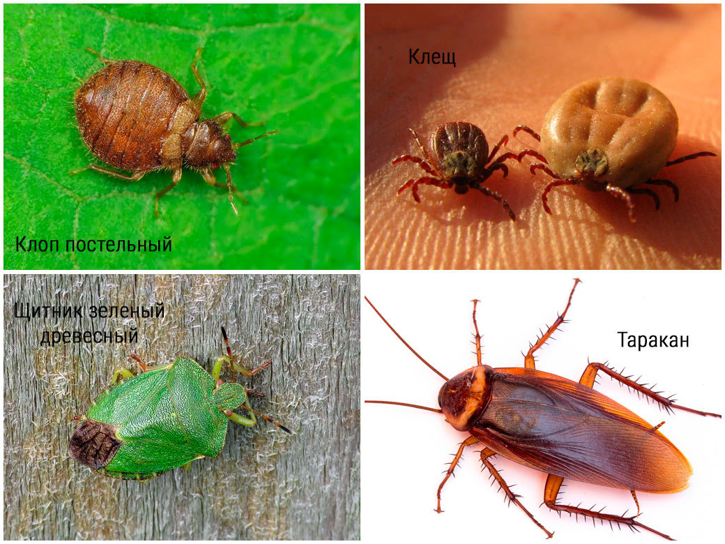 Как отличить клопов отдругих насекомых